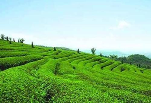 在Coonoor茶叶拍卖中成交量有所增加