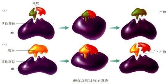 通过酶促反应指导的DNA包被的胶体的瞬时自组织