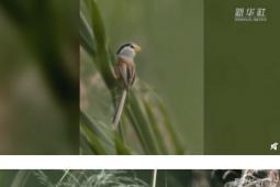 河北武强发现震旦鸦雀 为什么叫做震旦鸦雀