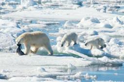 北极熊2100年或灭绝