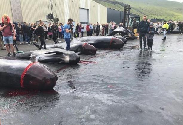 数百鲸鱼海豚被捕杀